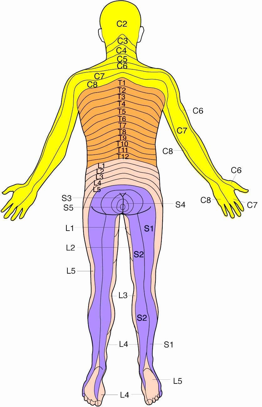 Dermatomes - How dermatomes affect Q Magnet application for ... on myotomal map, spinal map, us national parks map, deciduous map, somatosensory system, peripheral nerve field, brachial plexus map, blood–brain barrier, sclerotome map, dermatomal distribution map, lumbosacral plexus map, mtdna haplogroup migration map, nerve map, montserrat map, acupuncture ear map, diffusion map, brachial plexus, nervous system map, cervical pain map, thalamus map, referred pain map, myotome map, st. paul light rail map,